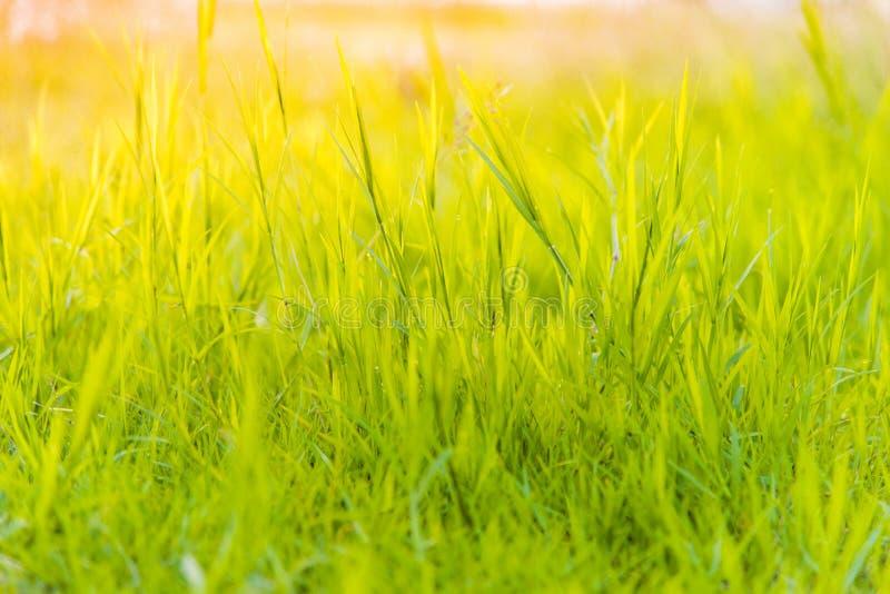 Gras op het gebied tijdens zonsopgang Geschikt om woorden te schrijven of achter de schermen royalty-vrije stock fotografie