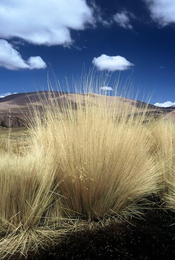 Gras pampas Боливии
