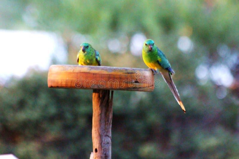 Gras-Papageien stockbilder