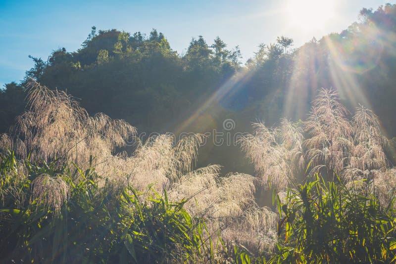 Gras, poaceae en bomen in warm ochtendzonlicht stock foto's