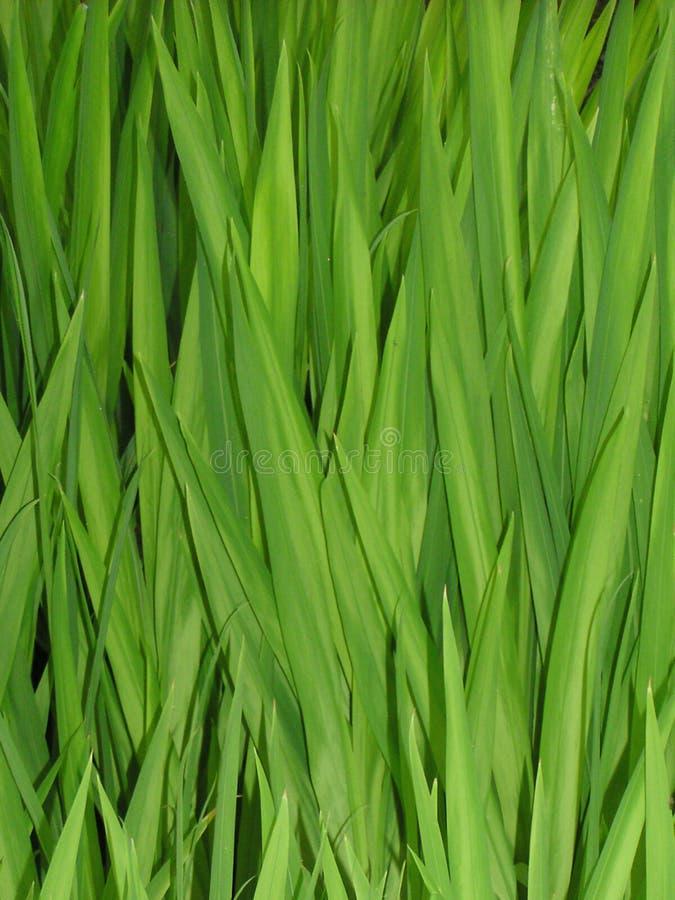 Gras-Schilfe stockfoto