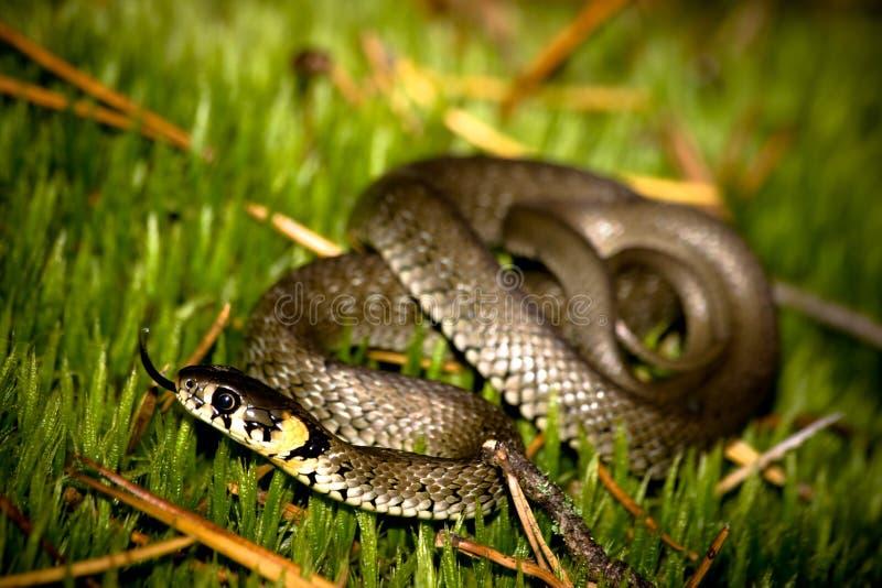 Gras-Schlange stockbild