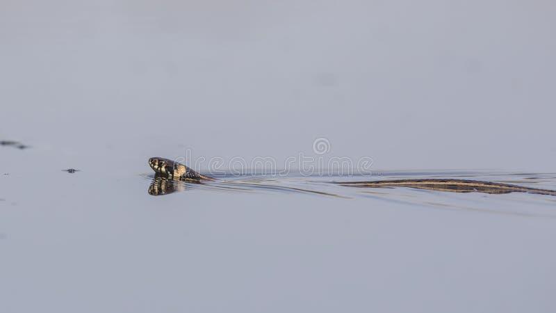Gras-Schlange, die nach links schwimmt lizenzfreie stockbilder