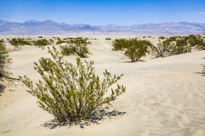Gras secados del desierto en dunas de arena de los planos del Mesquite imagenes de archivo