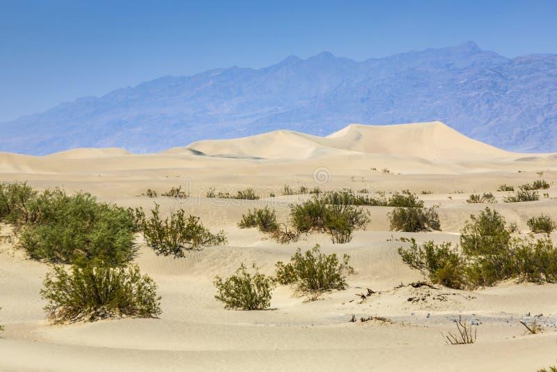 Gras secados del desierto en dunas de arena de los planos del Mesquite fotos de archivo