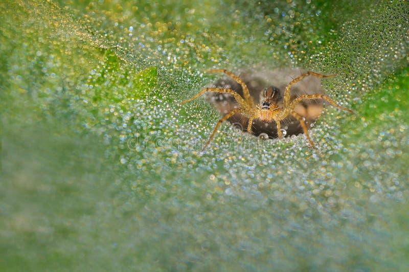 Gras-Spinne mit befeuchtet auf seinen Netzen lizenzfreies stockbild