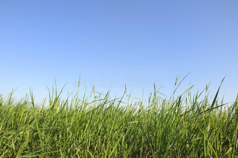 Gras tegen de blauwe hemel stock afbeelding