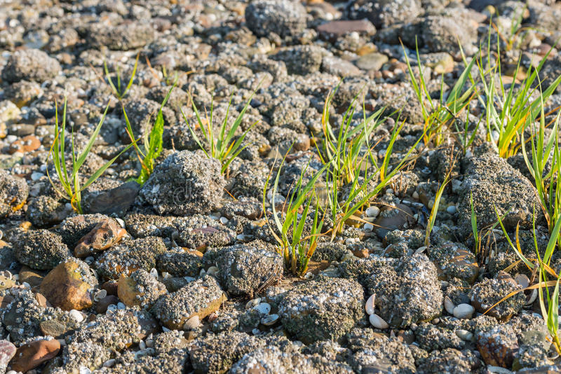 Gras tussen de stenen met eikeleendenmosselen die worden behandeld stock afbeeldingen