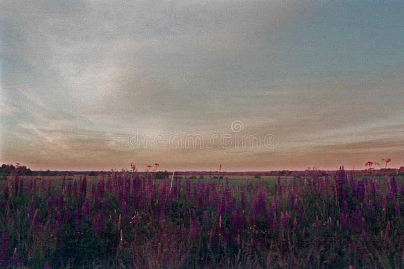 Gras und Blumen von Lupinen lizenzfreie stockbilder