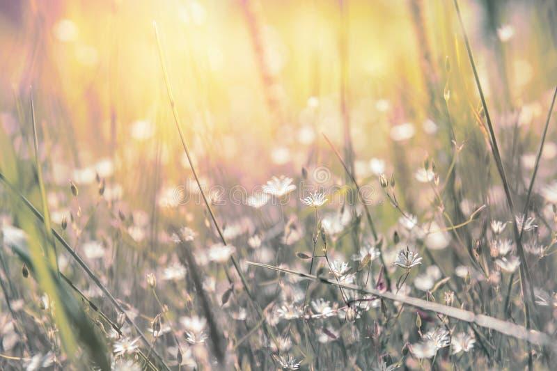 Gras und kleine weiße Blumen auf dem Feld stockfoto