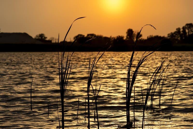 Gras in water op de mooie gouden zonsondergang stock foto