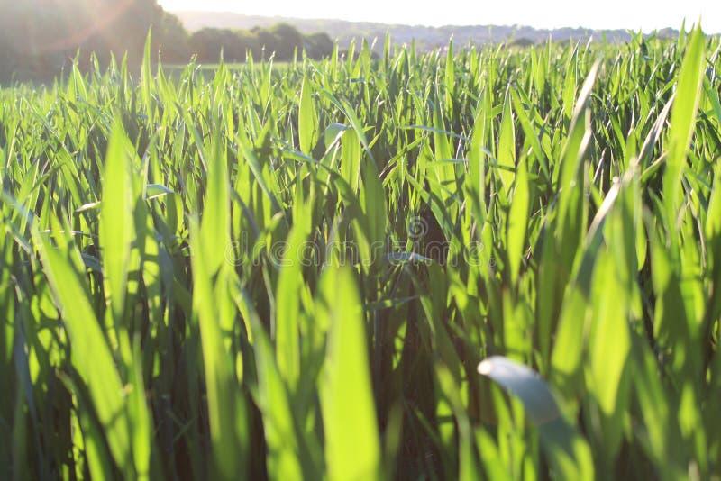 Grasartige Felder stockbild