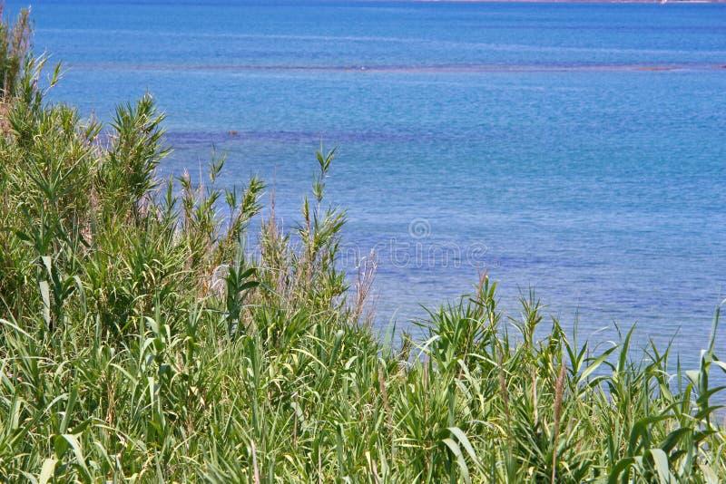 Grasartige Schilfe durch das Meer stockfoto