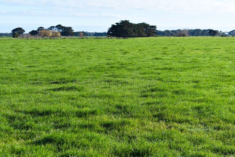 Grasartiges Feld des grünen Grases sonnig lizenzfreie stockbilder