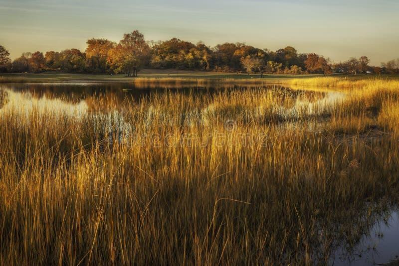 Grasartiges goldenes Feld durch Teich bei Sonnenuntergang stockbild