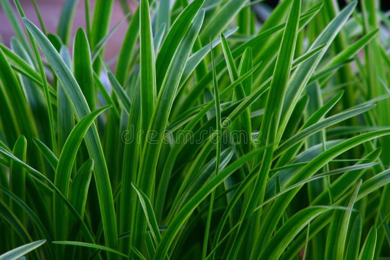 Grasartiges Gras stockbilder