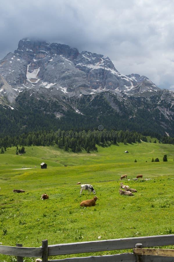 Grasbergwiese mit Kühen stockbilder