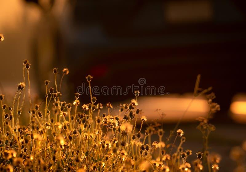 Grasbloem naast de weg met gouden zonlicht Achtergrond voor hoop en aanmoediging Grasbloem en vage auto Begindag stock afbeeldingen