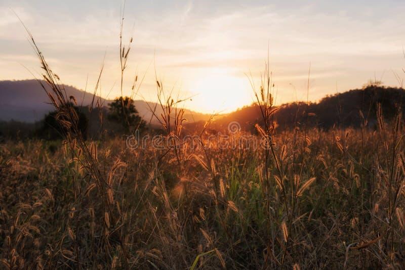 grasbloem of palea bij zonsondergang royalty-vrije stock foto