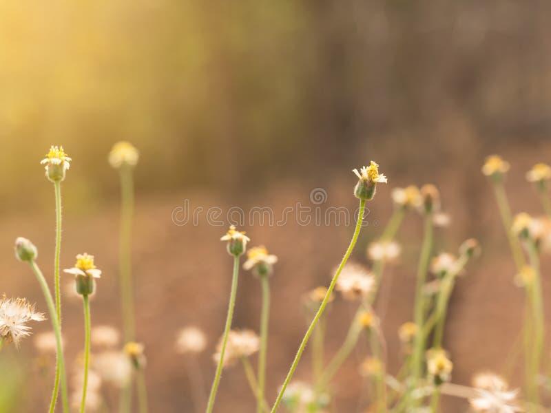 Grasblume auf dem Naturgebiet mit weichem orange Farbfilter machte das Fühlen warm am Sonnenscheintag lizenzfreie stockbilder