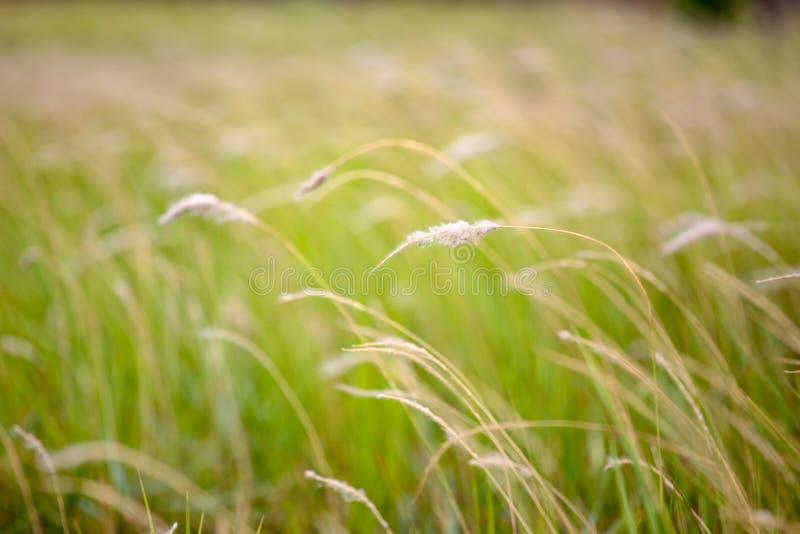 Grasblumenfeld in der Sommersaison bei Thailand f?r Hintergrund stockbild