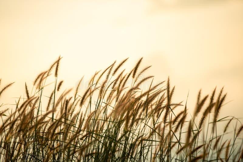 Grasgebied op zonsopgang met sepia toon stock afbeelding