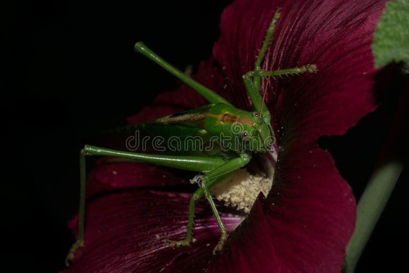 Grashopper royaltyfria bilder