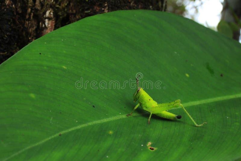 Grashopper verde claro en una licencia grande en el borde de la selva tropical imagenes de archivo