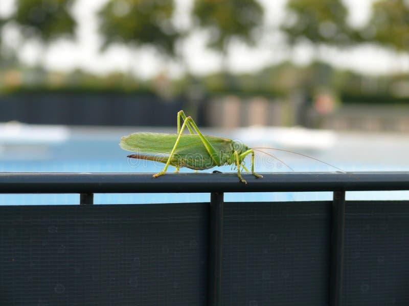 Grashopper vert photo stock