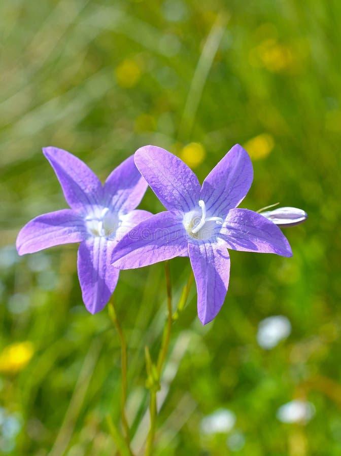 Grasklokjes (Klokje) wilde bloemen royalty-vrije stock foto's