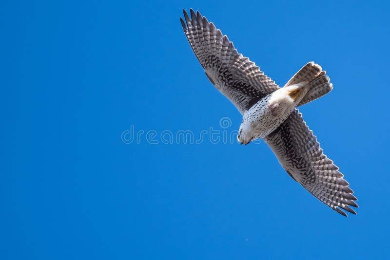 Grasland-Falke, der hoch in einem blauen Himmel ansteigt stockfoto