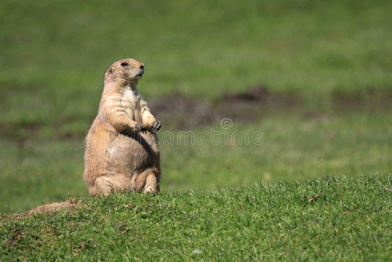 Graslandhund stockbild