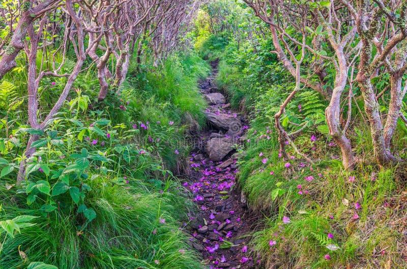 Grasrijke Rand, Catawba-Rododendron, Roan Mountain State Park stock fotografie