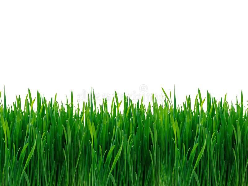 Grass. Green grass on white background