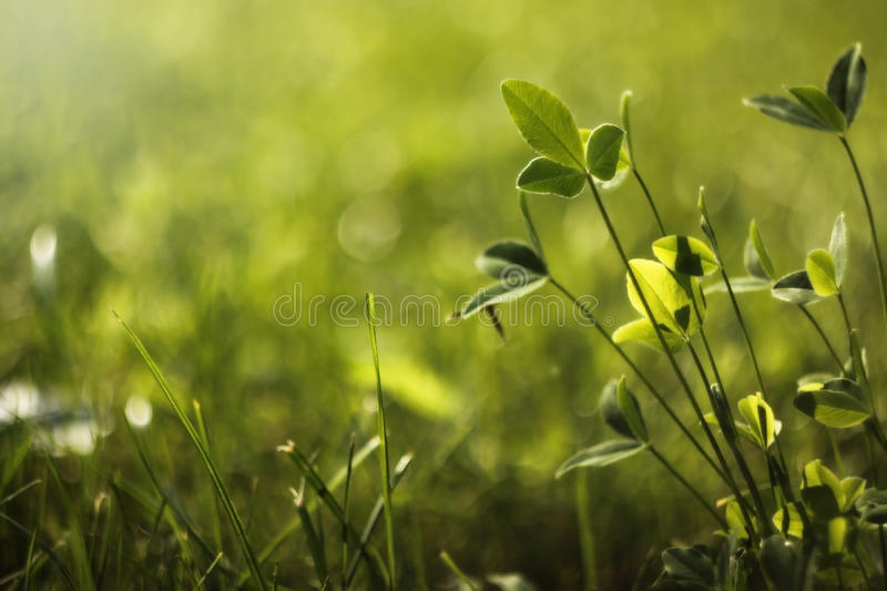 Grass. This is beautiful summer grass on sunny light royalty free stock images