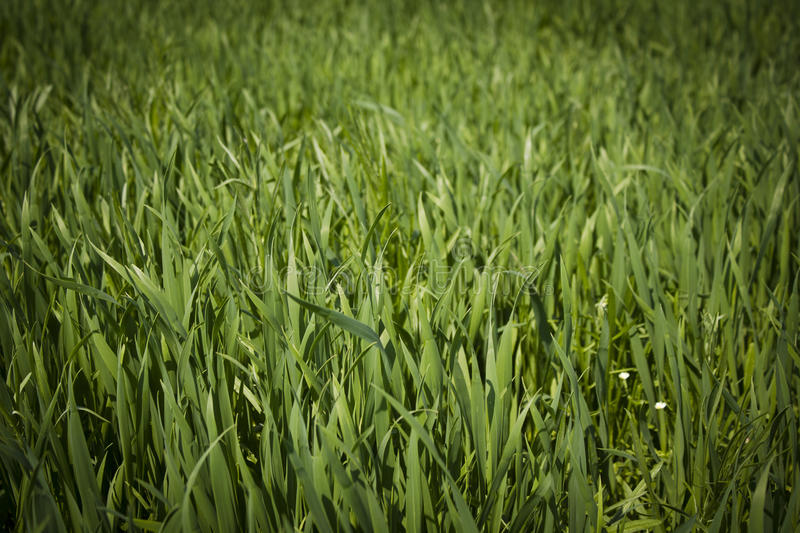 Download Grass stock photo. Image of green, fresh, grass, spring - 24767184