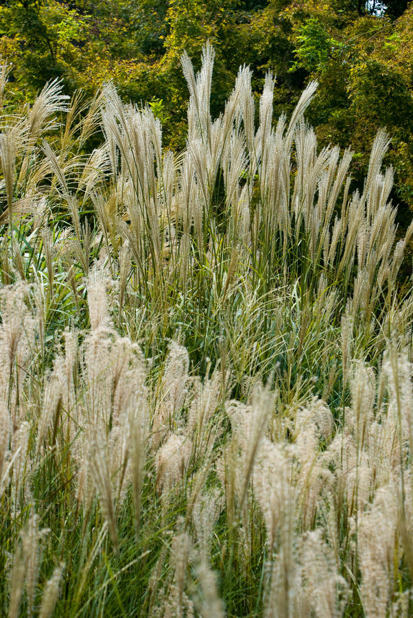 Download Grass stock photo. Image of stalks, brown, grain, seeds - 25924528