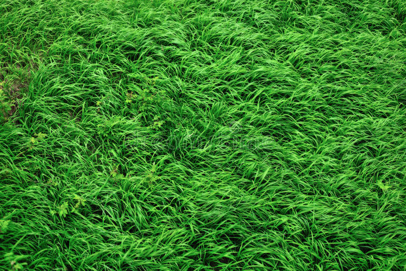 Download Grass stock image. Image of healthy, soft, nature, grass - 27165753