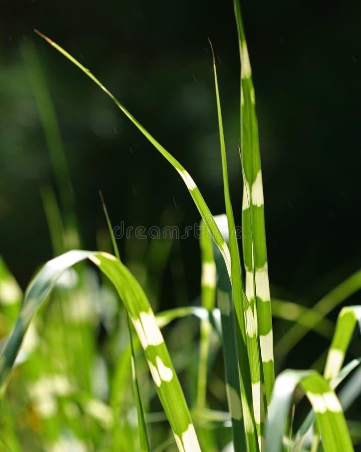 Download Grass stock image. Image of blades, ornamental, zebra - 3093925