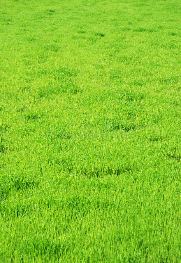 Grass. Green grass background like texture