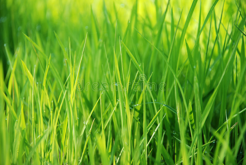Grass. Green grass background with dew drops