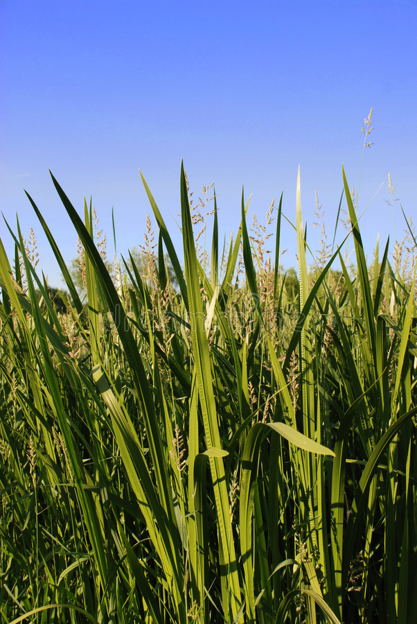 Download Grass stock photo. Image of green, reed, farm, field, country - 3171630