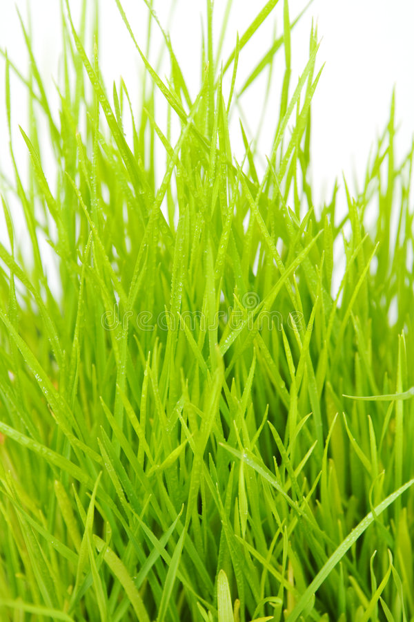 Grass. With droplets isolated on a white background stock images