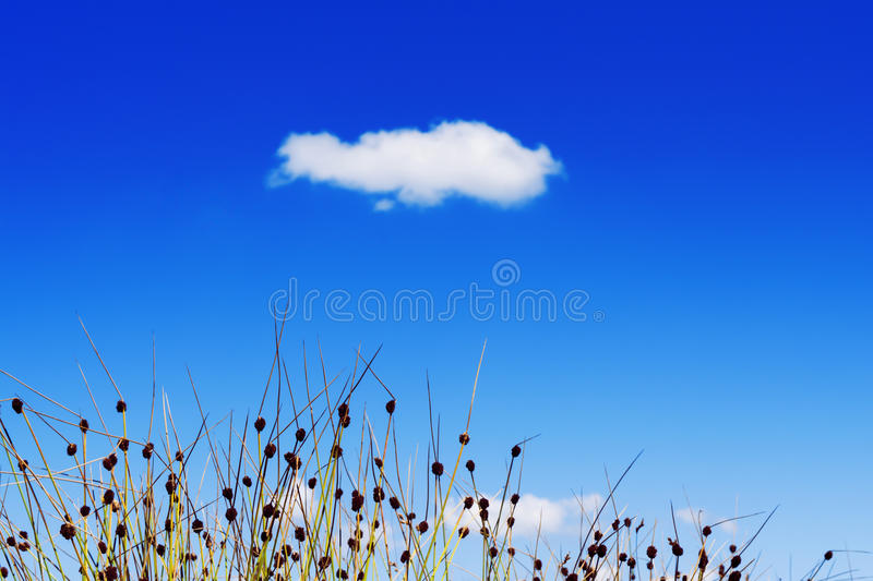Grass against blue summer sky. Funny grass/reed in front of a beautiful, blue summer sky with a single cloud stock image