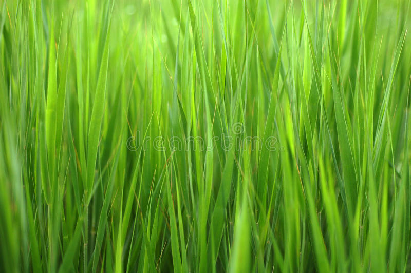 Grass background. Lush spring bright and saturated green grass background royalty free stock photo