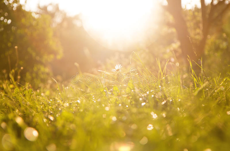 Grass background and chamomile flower on a sunny day during sunset. stock photo