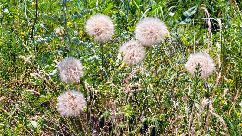 Mature tragopogon flowers stock photos