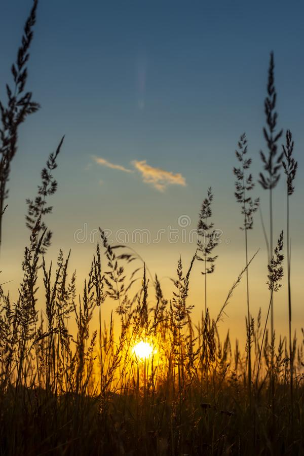 Grass background on the summer sunset . Bright natural bokeh. Soft focus. Vertical view royalty free stock image
