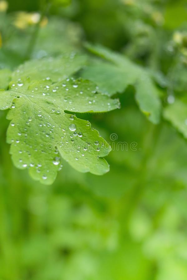 Grass background with water drops with very shallow depth of field stock images
