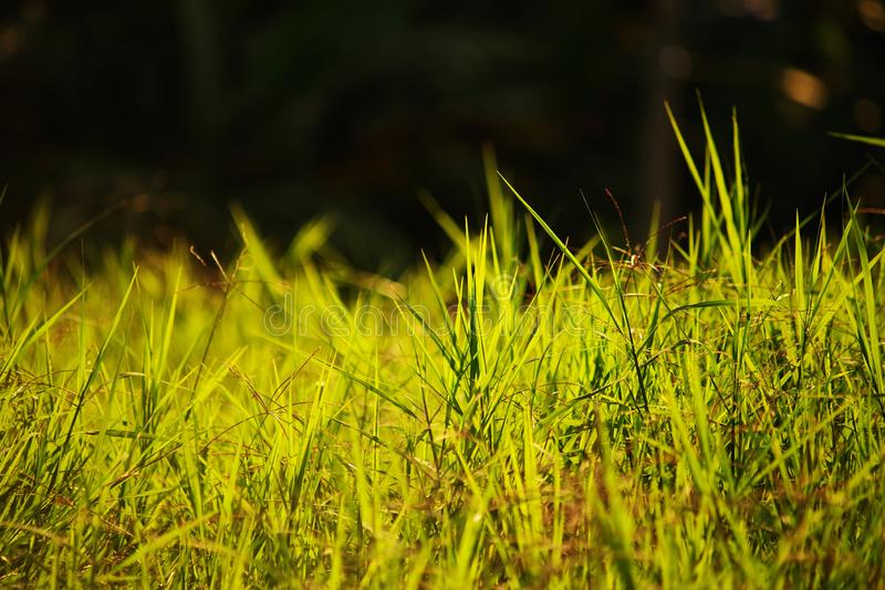 Grass in backlighting with selective focus and shallow depth of field - bokeh. In photography, bokeh is the aesthetic quality of the blur produced in the out-of stock image